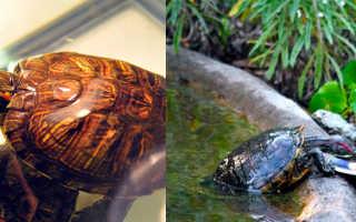 Можно ли красноухой черепахе яблоко
