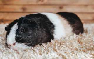 Лечение морской свинки в домашних условиях