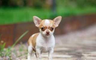 Маленькие гладкошерстные собаки