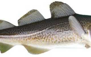 Налим это рыба