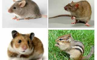 Виды мышей в подмосковье