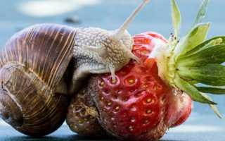 Что едят маленькие улитки