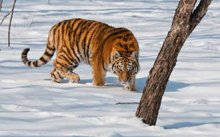 Амурский тигр красная книга