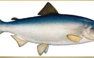 Нерестовая рыба кета