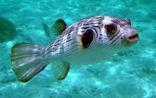 Рыба фугу фото описание