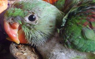 Почему у попугая клюв кривой африканская