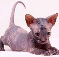Кошка донской сфинкс браш