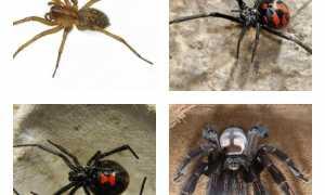 Укусы домашних пауков