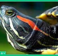 Красноухие черепахи интересные факты