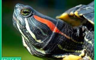 Красноухая черепаха интересные факты