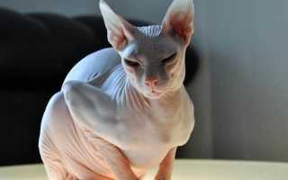 Донской сфинкс фото описание породы