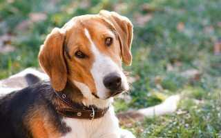Гончая собака фото щенки