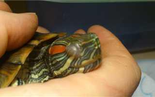 Может ли красноухая черепаха ослепнуть
