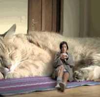 Самый большой сфинкс в мире кошка