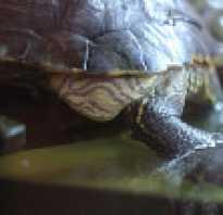Ожирение у черепах красноухих