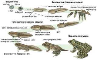 Цикл развития лягушки