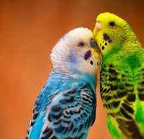 Как узнать самца волнистого попугая