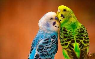 Фото волнистых попугаев мальчиков