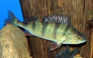 Как выглядит рыба окунь фото
