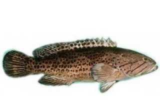 Меру рыба википедия