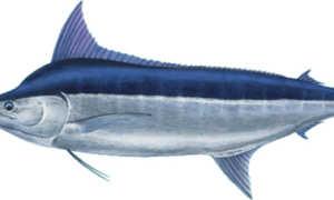 Рыба марлин польза и вред