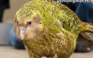 Попугай похожий на сову