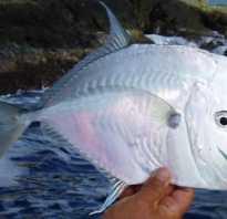 Рыба вомер картинки