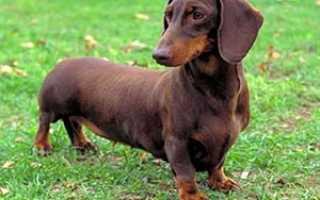Такса собака характеристика
