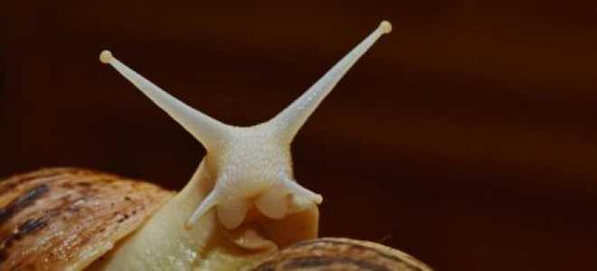 Размер улитки ахатины в 5 месяцев