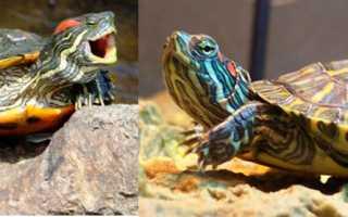 Почему перестала кушать красноухая черепаха