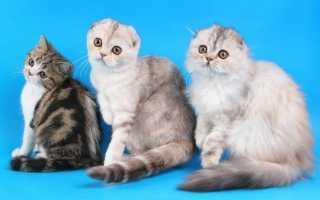 Чем можно кормить шотландских котят