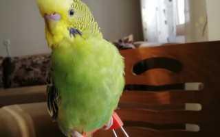 Что делать если попугай трясется