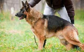 Как начать дрессировать щенка немецкой овчарки