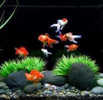 Меченосцы и золотые рыбки совместимость