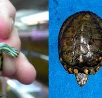 Фото сколько лет красноухой черепахи