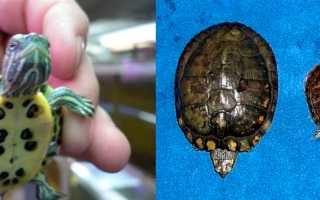 Красноухая черепаха рост по годам