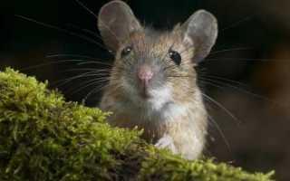 Чем питаются мышата