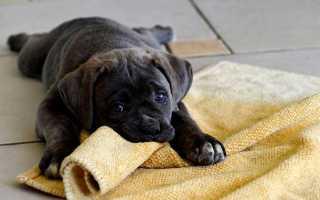 Как приучить собаку к пеленке