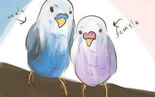 Как определить попугая мальчик или девочка