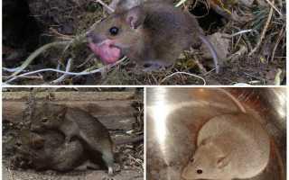 Как рожают мыши