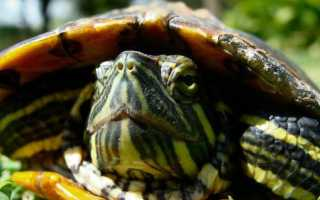 У красноухой черепахи пятна на панцире