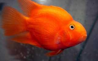 Рыба попугай чем кормить