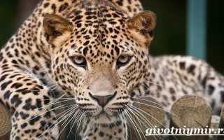 Белый леопард красная книга