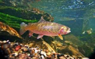 Форель описание рыбы