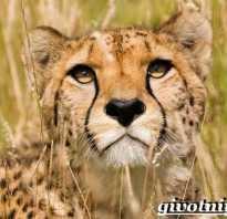 Азиатский гепард из красной книги доклад
