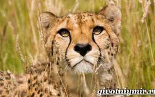 Азиатский гепард из красной книги