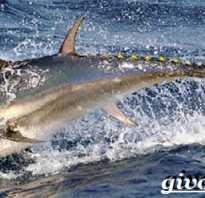 Рыба тунец фото и описание