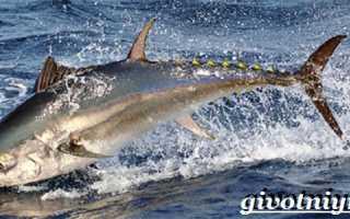 Рыба тунец где водится